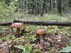 King of Labanoras mushrooms Boletus